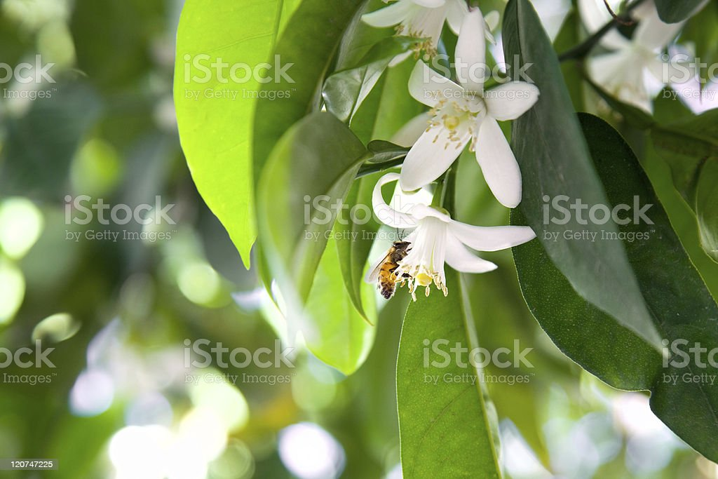 Bee and tangerine trees blooming stock photo