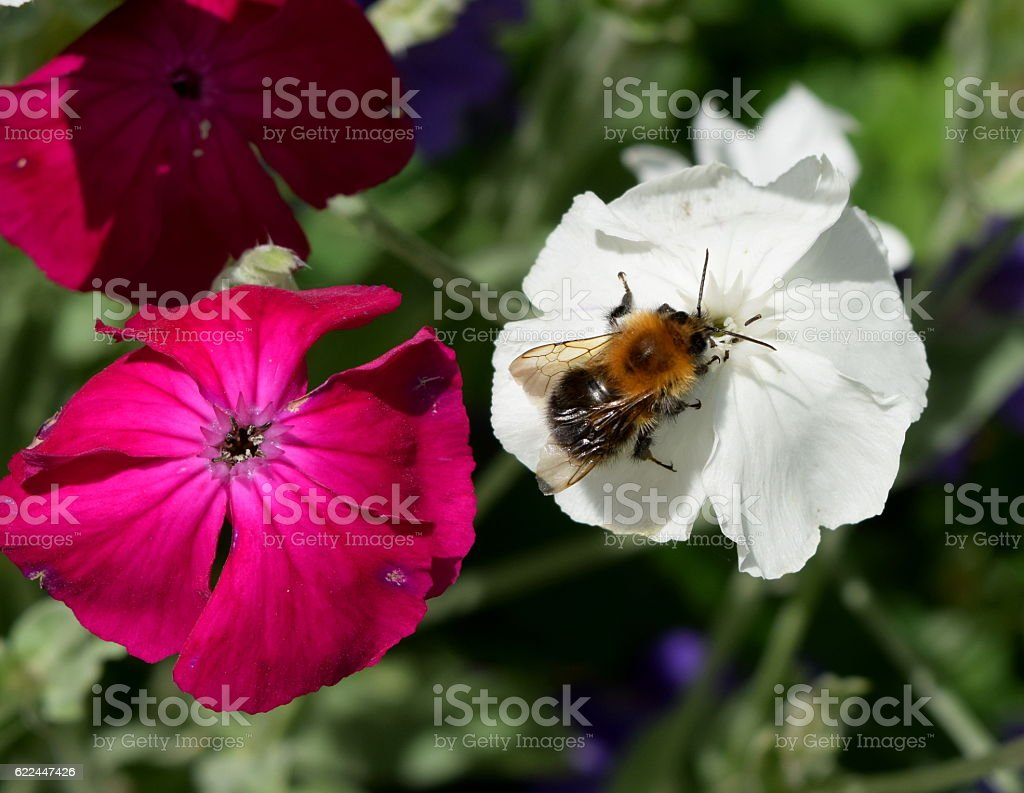 Bee and two flowers stock photo