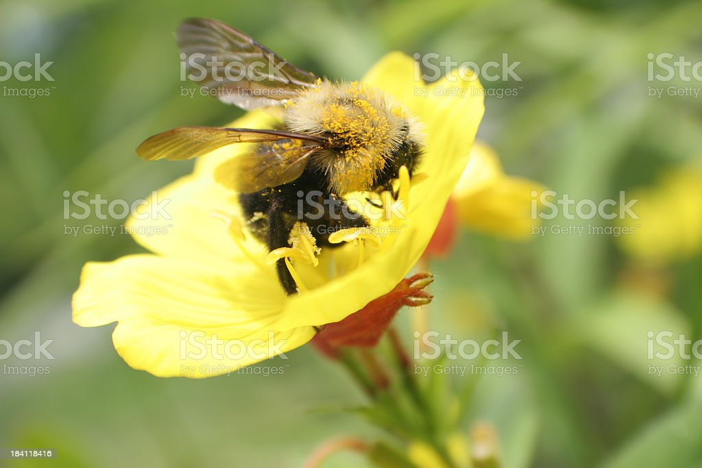 Bee and yellow flower stock photo