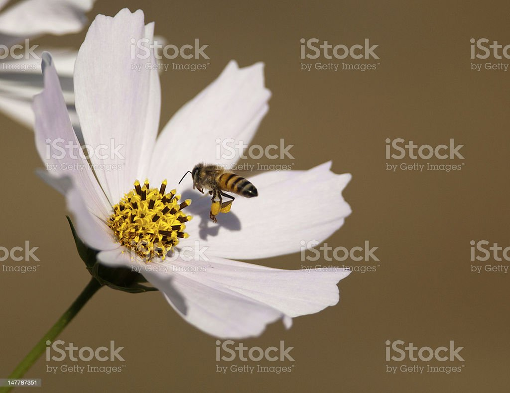 Bee approaching cosmos royalty-free stock photo