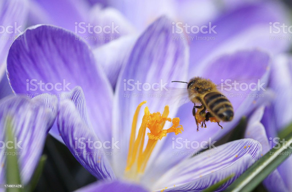 Bee at the fly to a crocus royalty-free stock photo