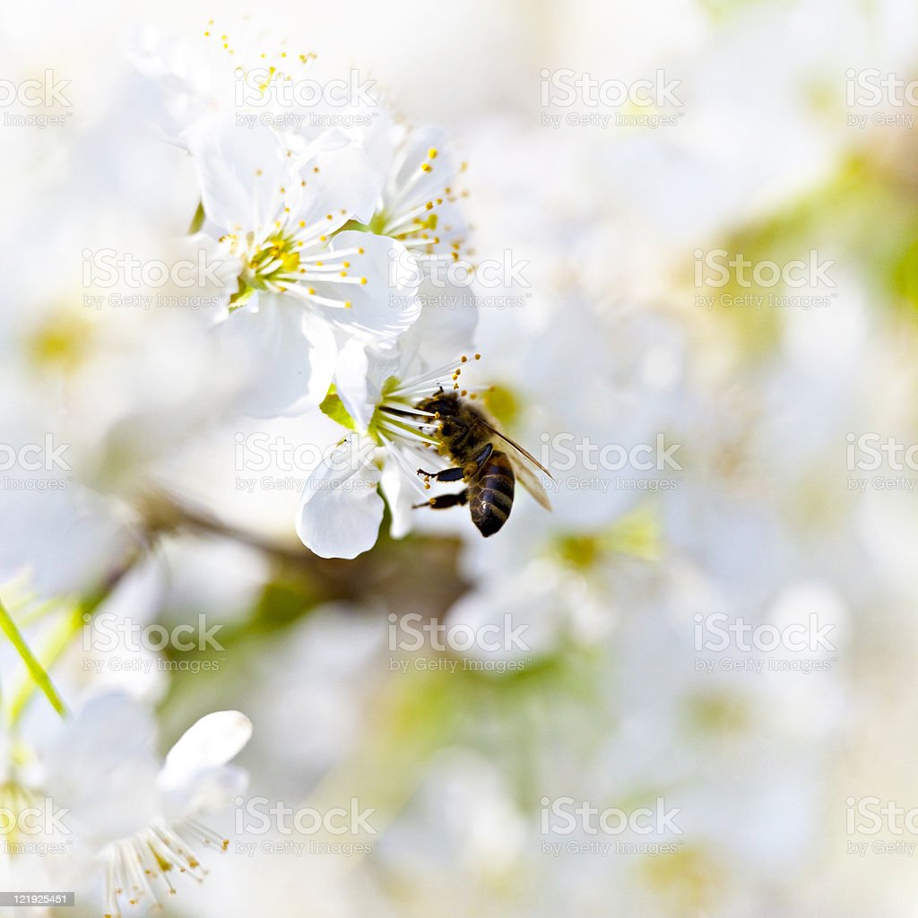 Bee at work in high key royalty-free stock photo