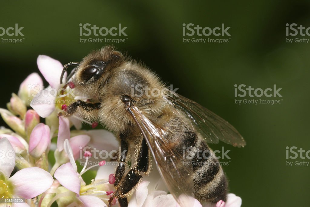 Bee at work stock photo