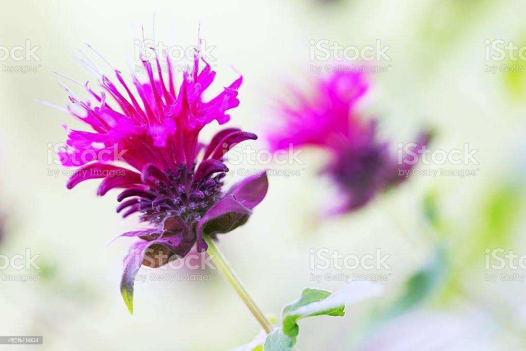 Bee Balm - Bergamot - Monarda Flower stock photo