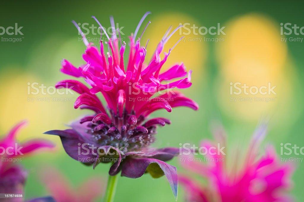 Bee Balm Blossom stock photo