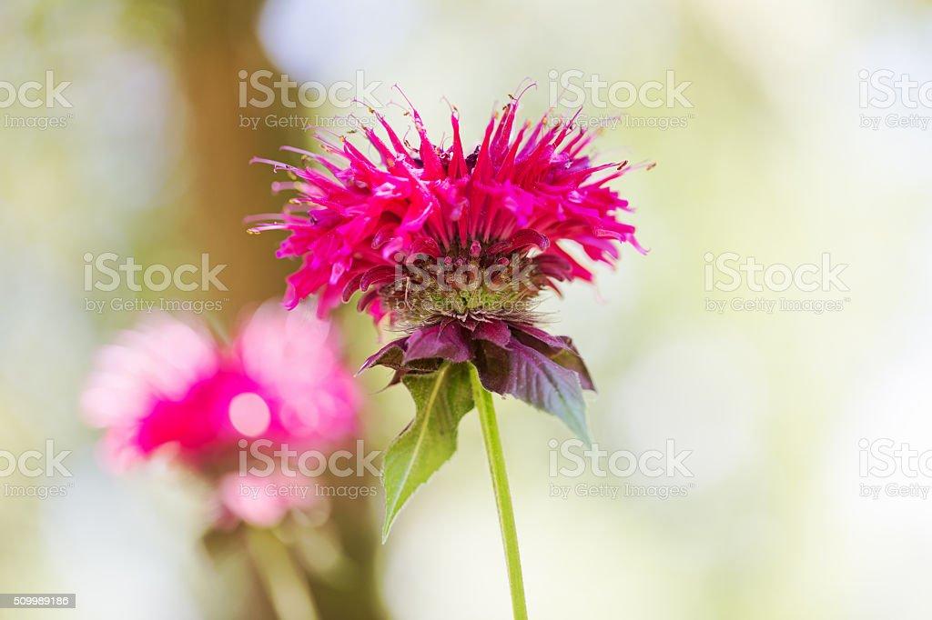 Bee Balm Flower stock photo