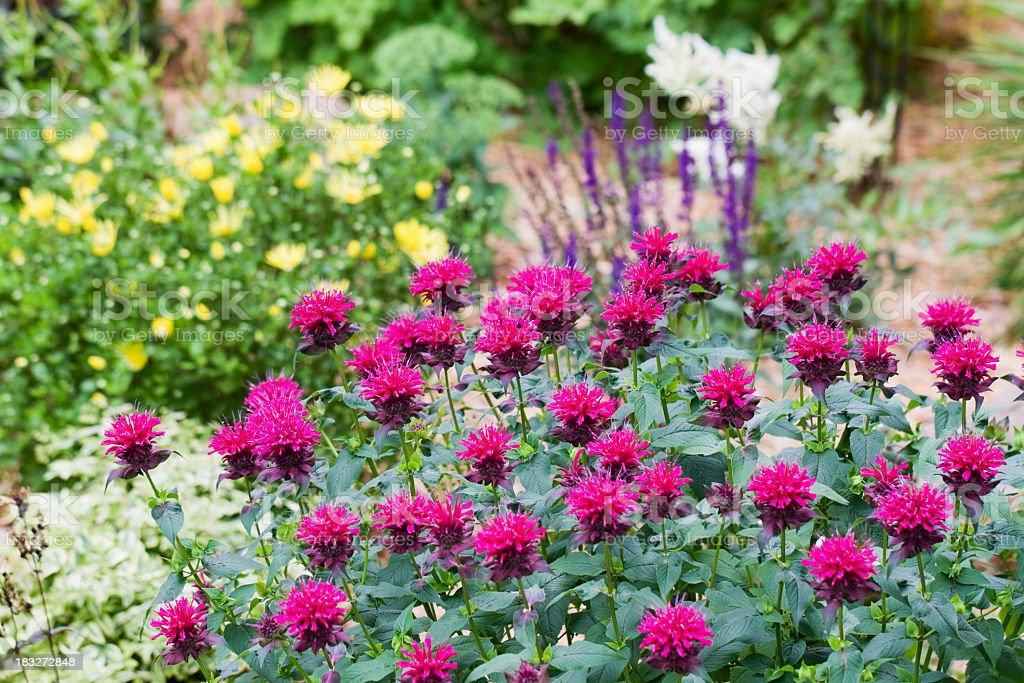 Bee Balm (Monarda) in a Flower Garden stock photo
