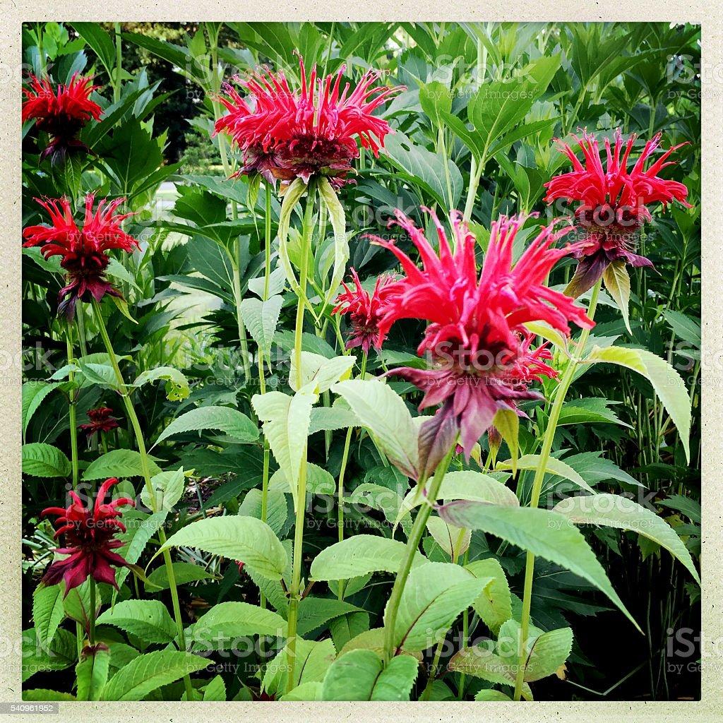 Bee Balm in Perennial Garden stock photo