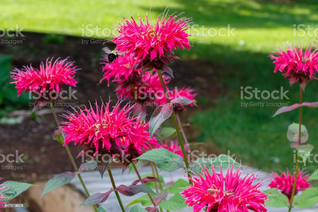 Bee Balm stock photo
