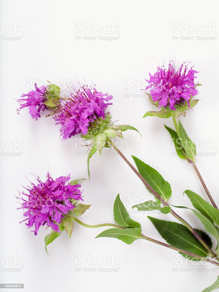 Bee balm.Monarda branch stock photo