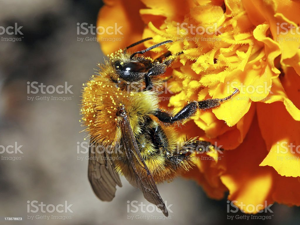 Bee closeup on yellow flower stock photo