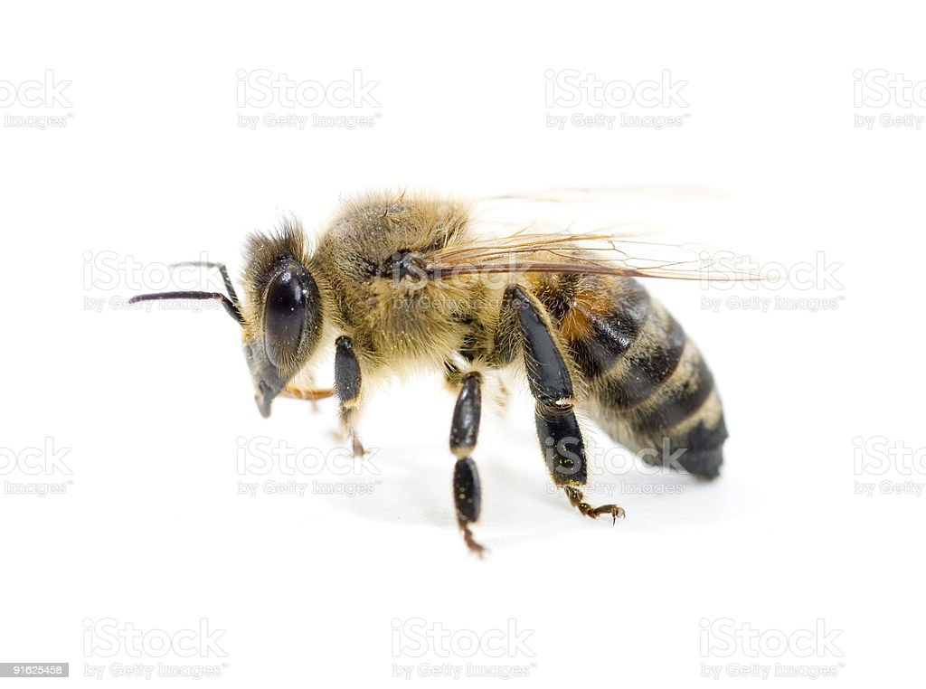 Bee close-up. stock photo