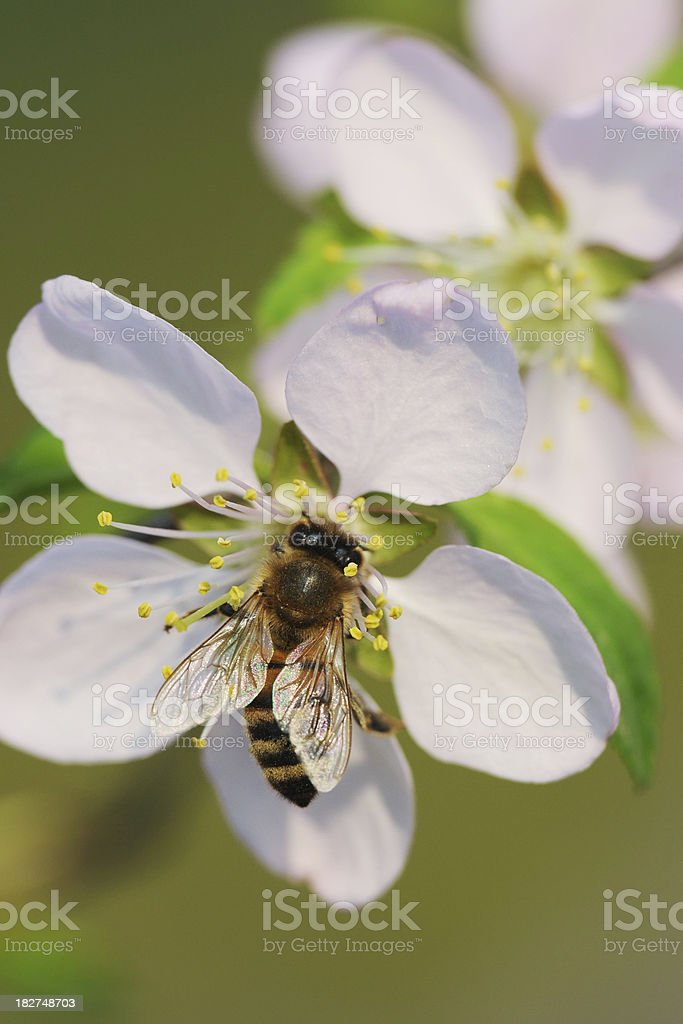 Bee Collecting Honey - Large royalty-free stock photo