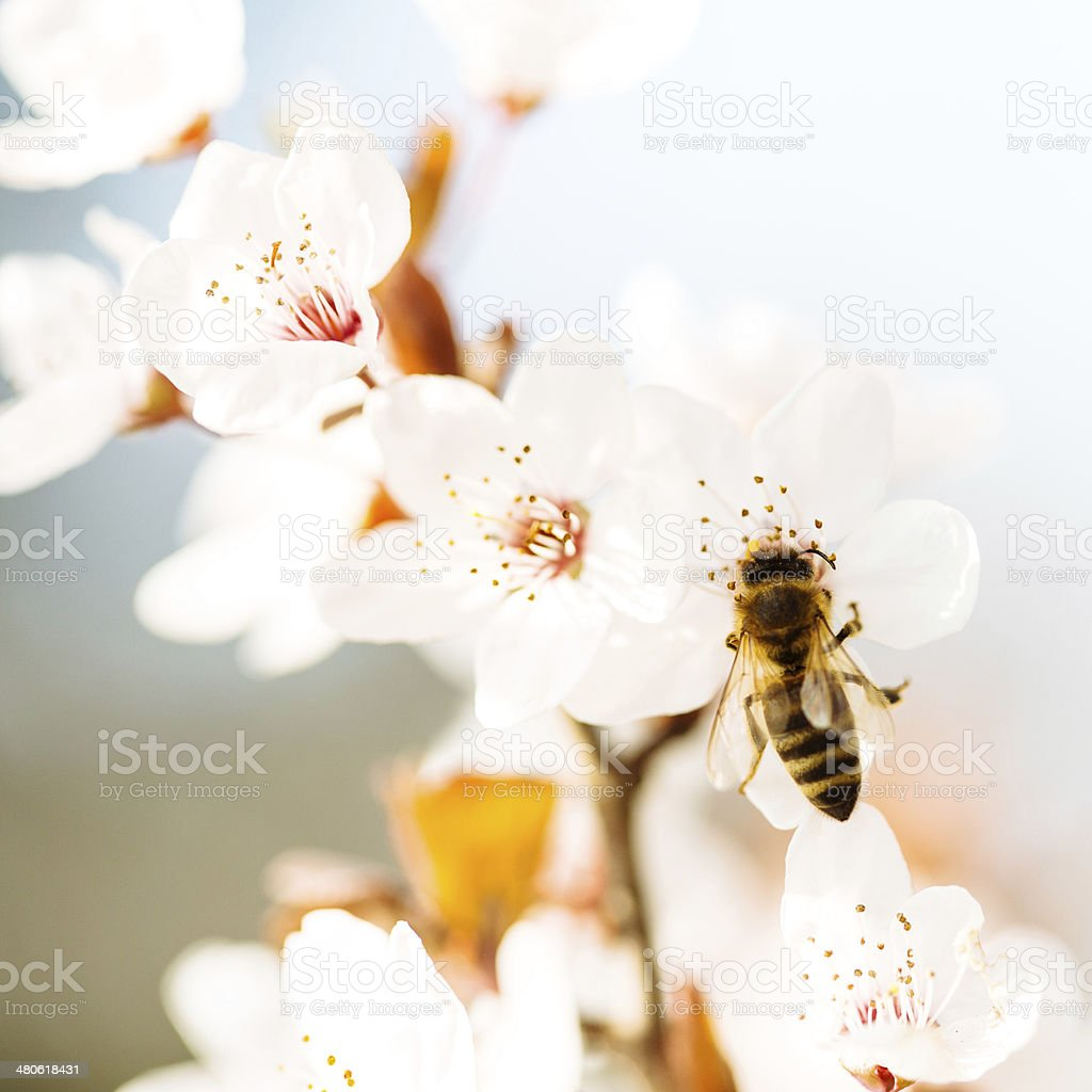 Bee collecting nectar from a Cherry tree royalty-free stock photo