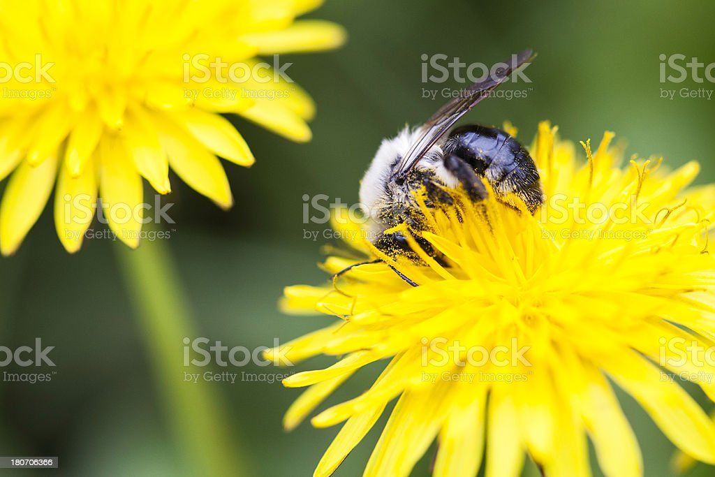 Bee collecting nectar from a dandelion royalty-free stock photo