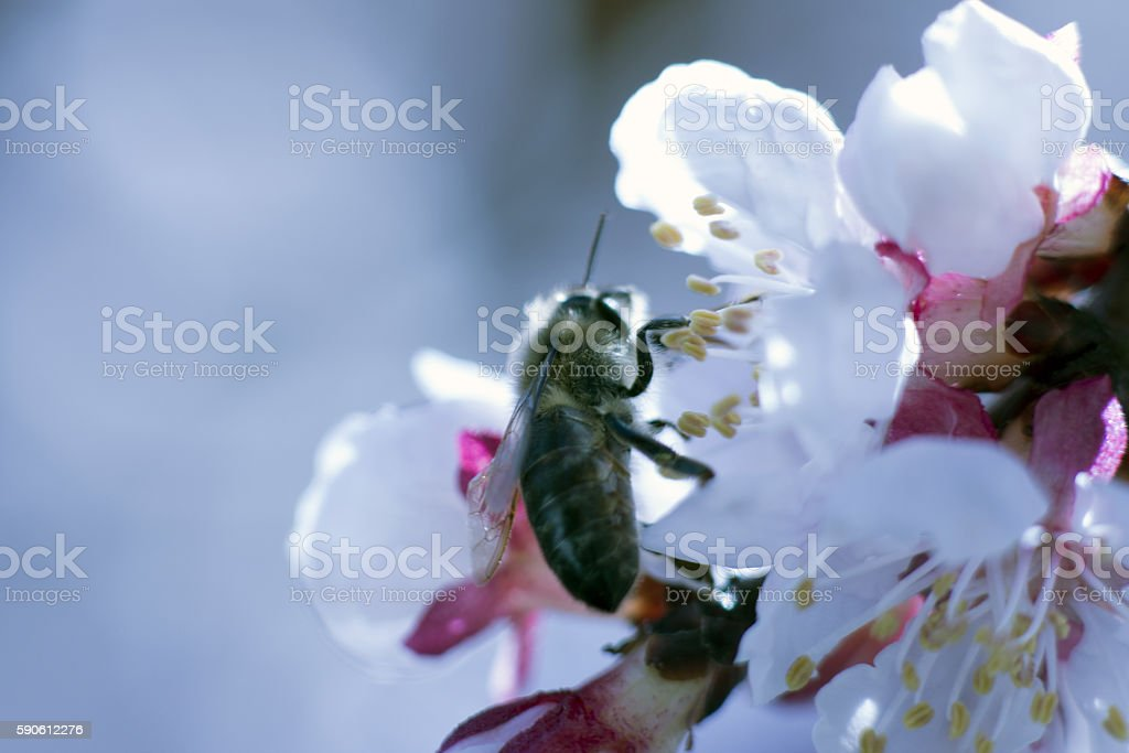 Bee Collecting Nectar From an Apricot Blossom stock photo