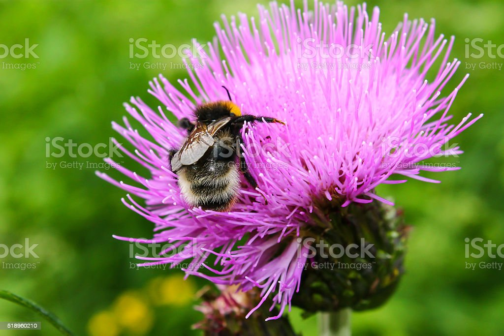 Bee collecting nectar. stock photo