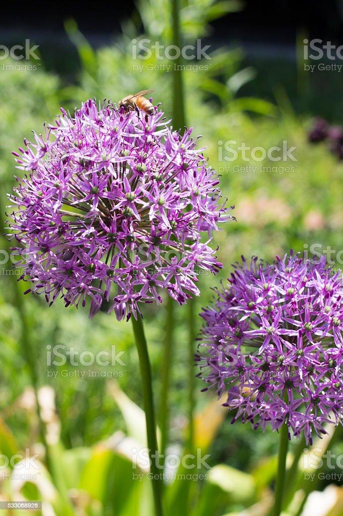 Bee collecting pollen from purple allium stock photo