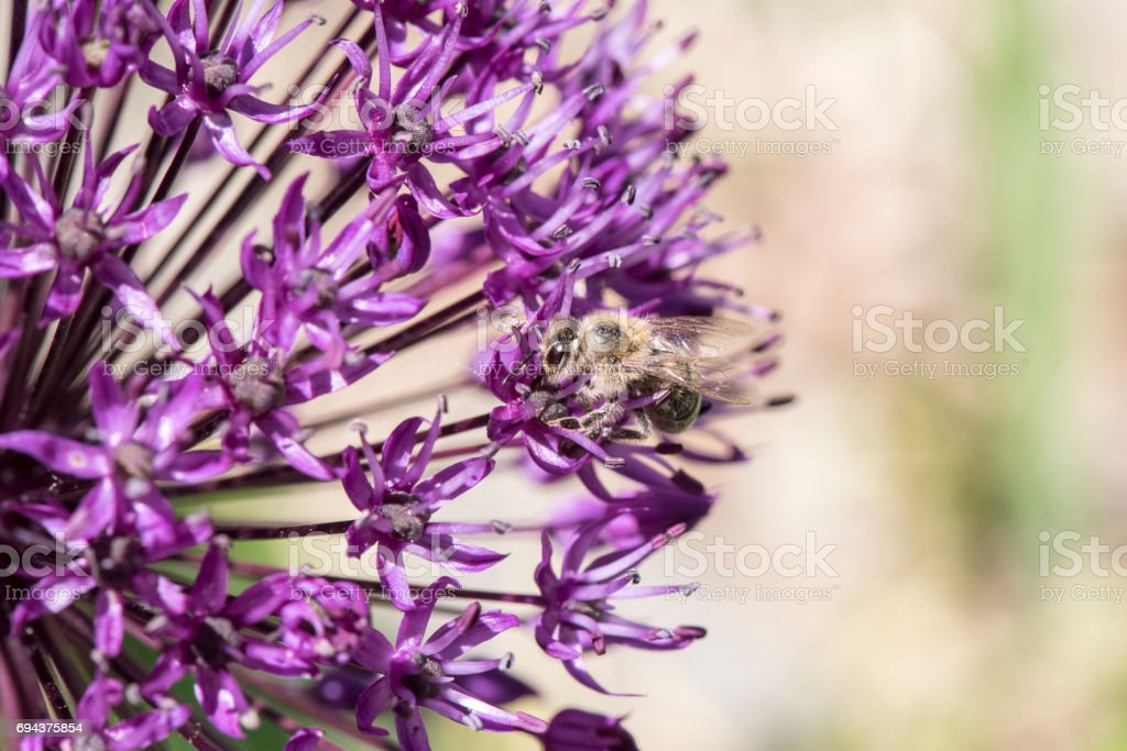 Bee Collecting Pollen From Purple Allium stock photo