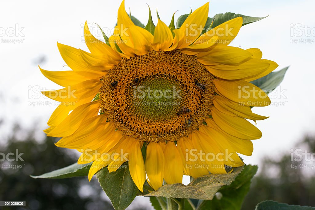A bee collecting pollen on a flower sunflower