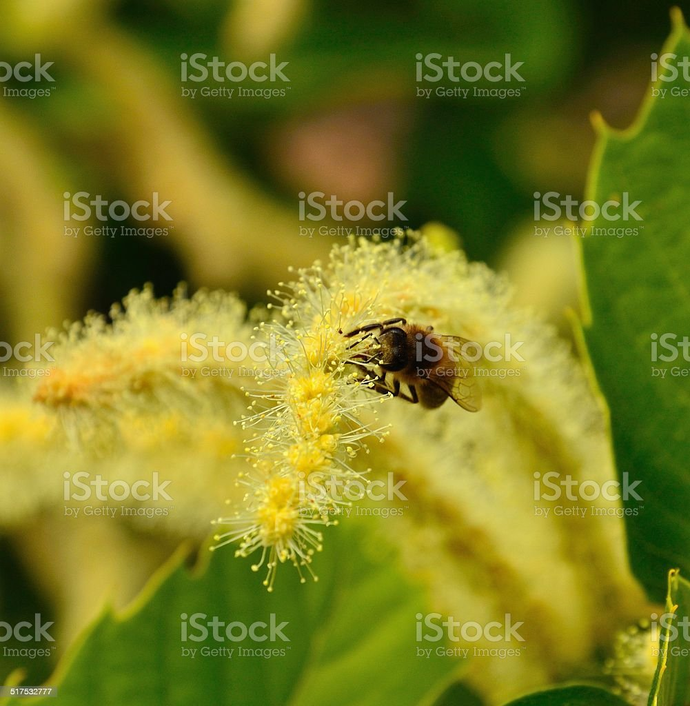 Bee collecting pollen on chestnut wildflowers stock photo