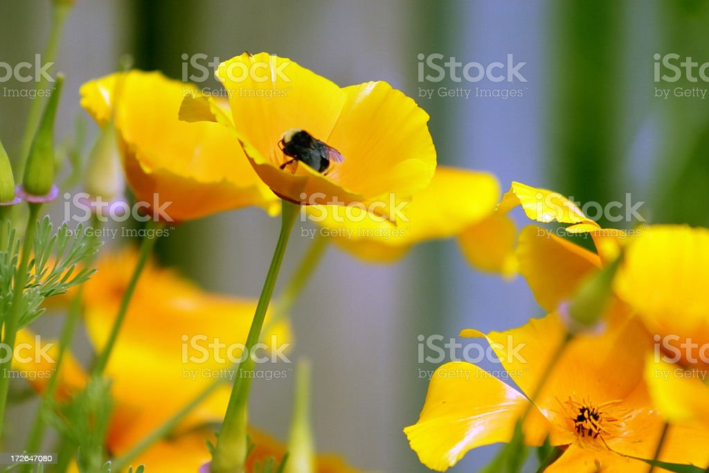 Bee Collecting Pollen on Poppy Flower royalty-free stock photo