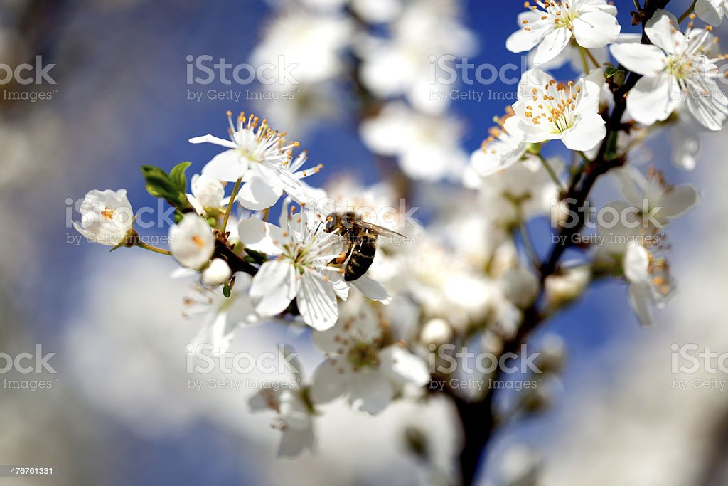 bee collecting pollen royalty-free stock photo