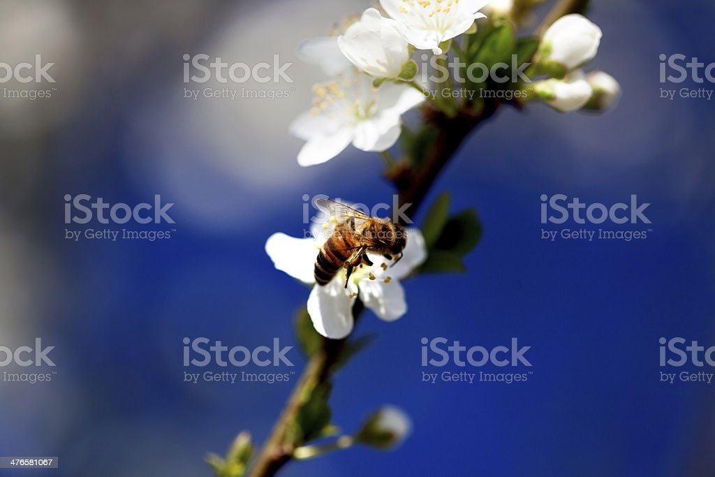 bee collecting pollen spring time royalty-free stock photo