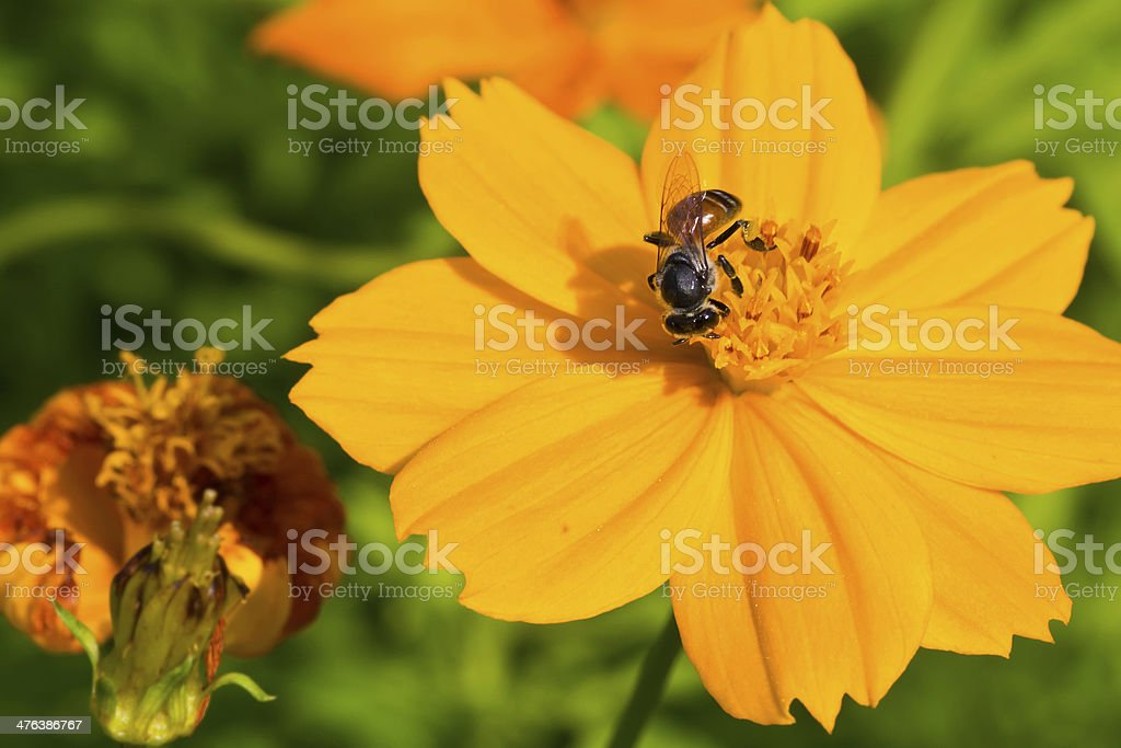 Bee collects nectar from cosmos flower royalty-free stock photo