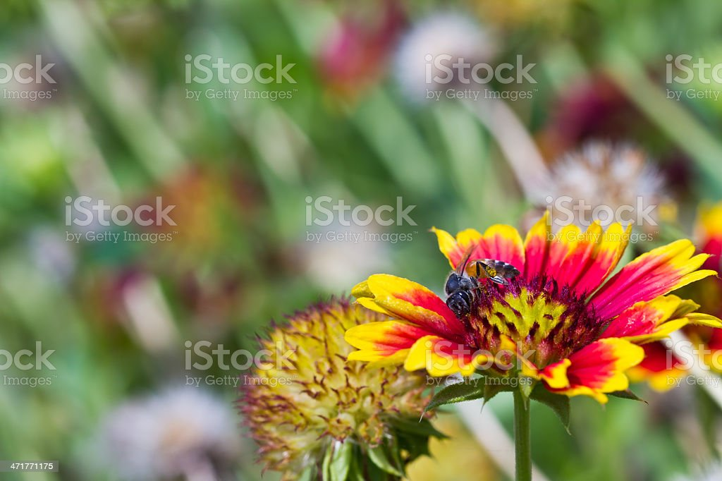 Bee collects nectar from flower royalty-free stock photo
