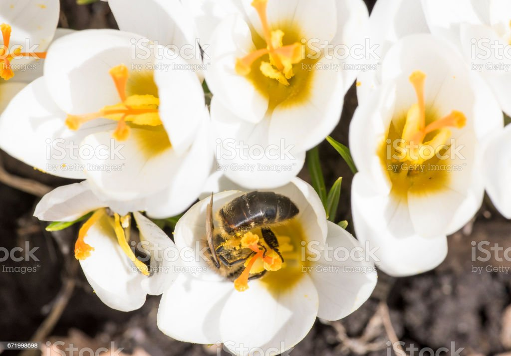 A bee collects nectar on crocus stock photo