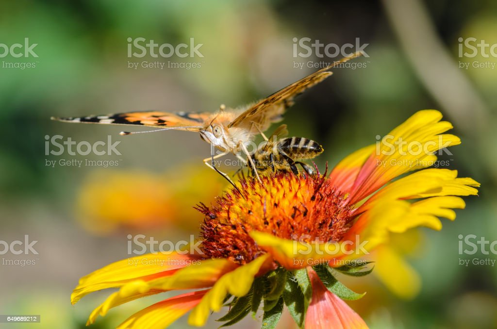Bee collects nectar stock photo