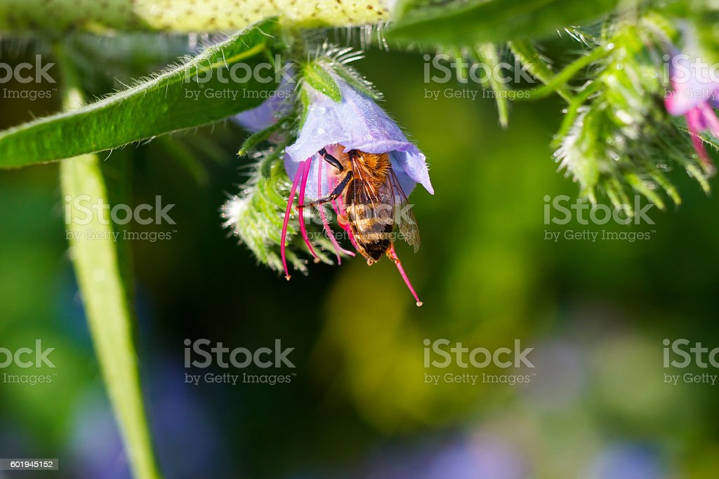 bee collects pollen from a purple bluebells after rain stock photo