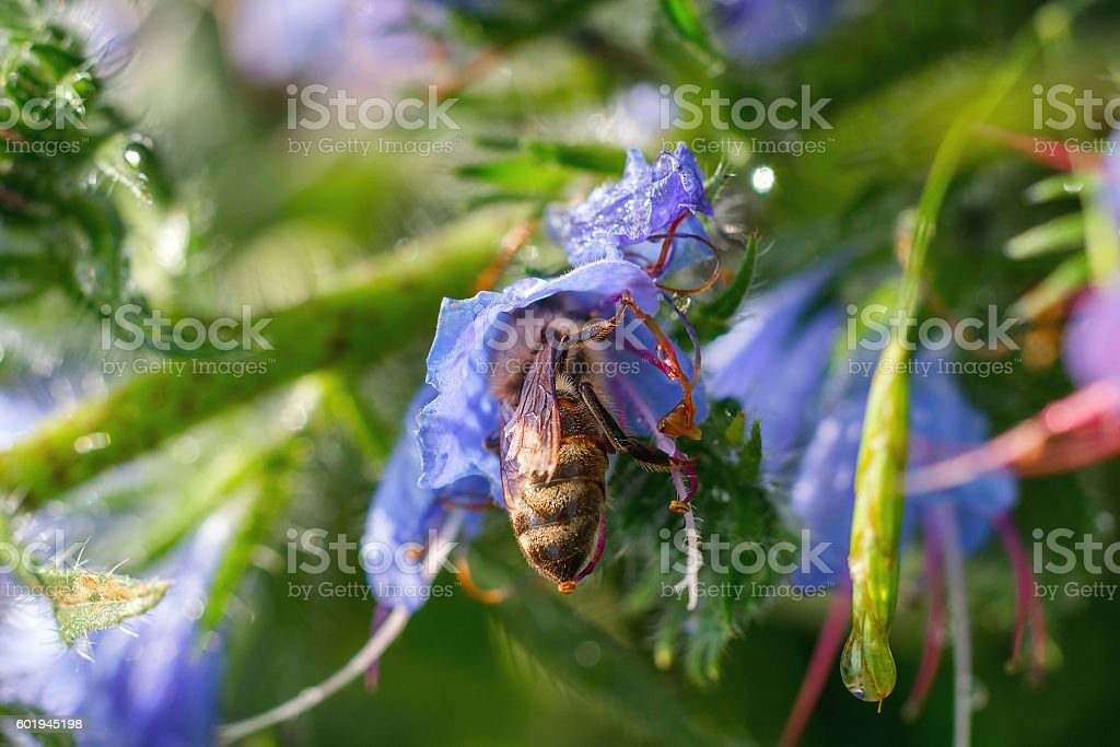 bee collects pollen from a purple flower after rain stock photo