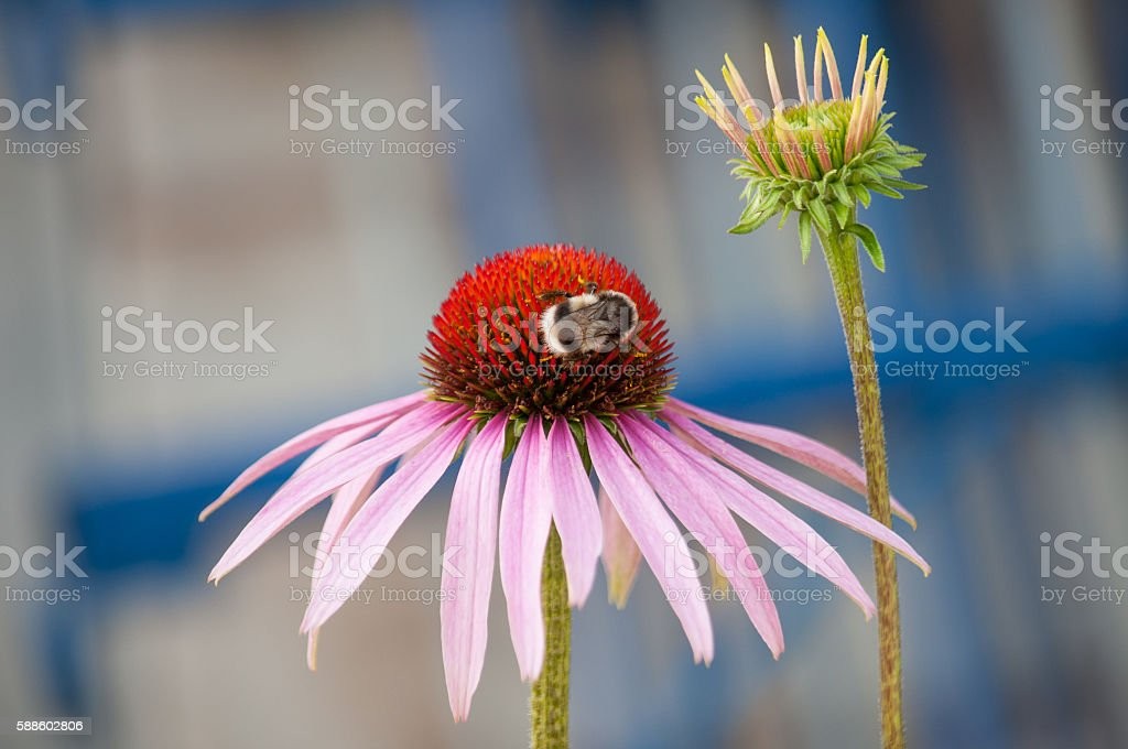 Bee collects pollen from flower stock photo