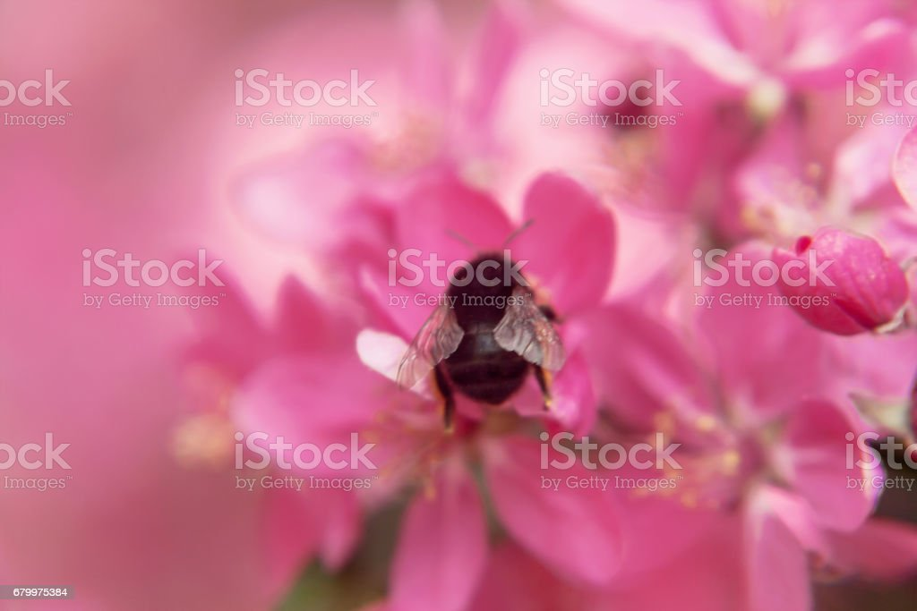 Bee collects pollen on Pink beautiful tree flowers paradise apple tree close-up in a gentle blur stock photo