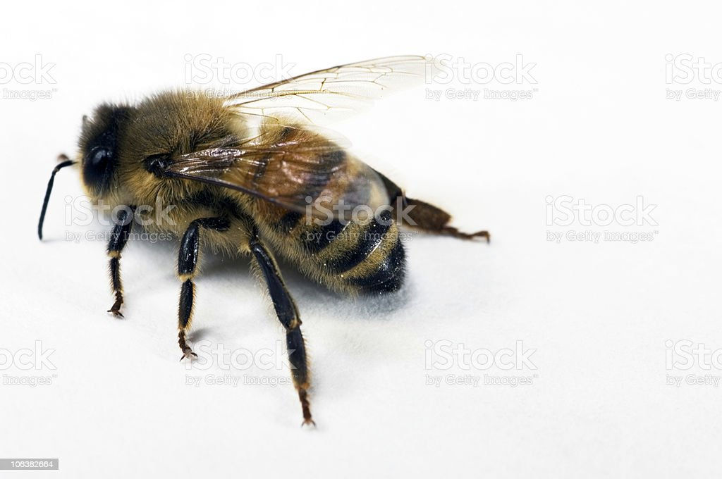 Bee. Color Image royalty-free stock photo