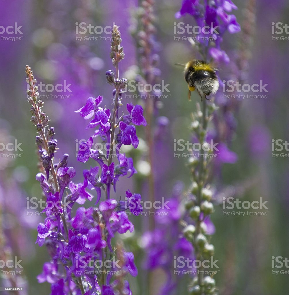 Bee coming in to Land royalty-free stock photo