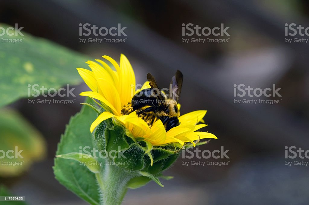 Bee Digging for Gold royalty-free stock photo