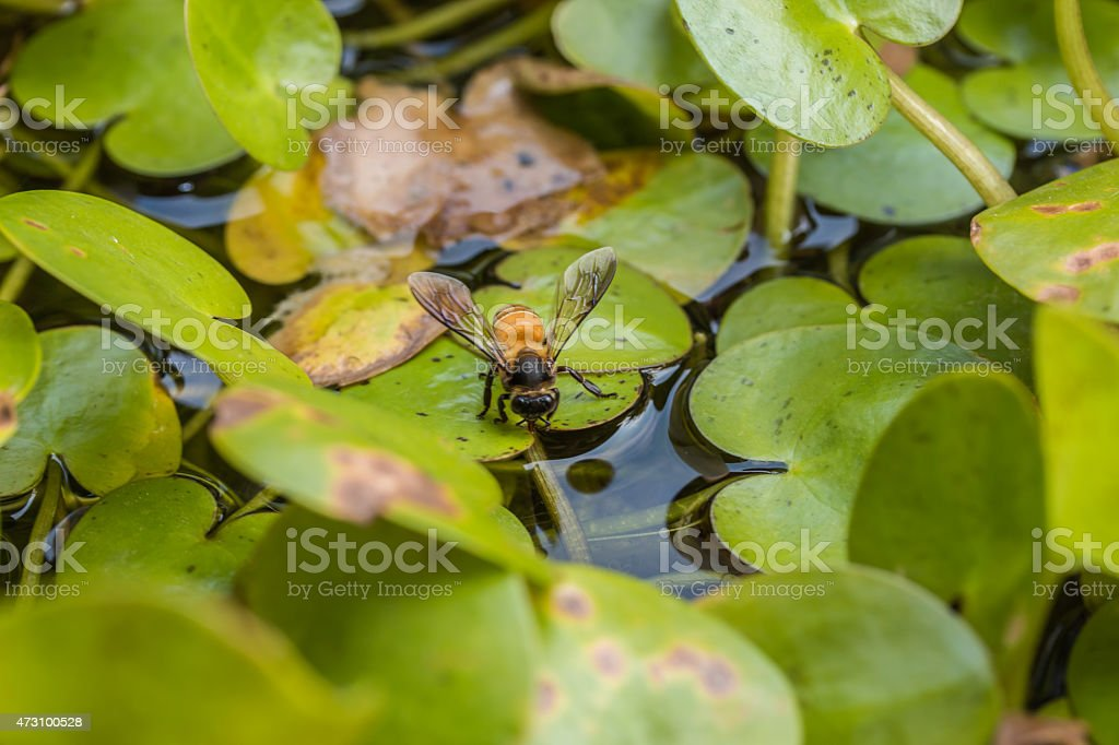 Bee drinking water in the summer with Common Frogbit background stock photo