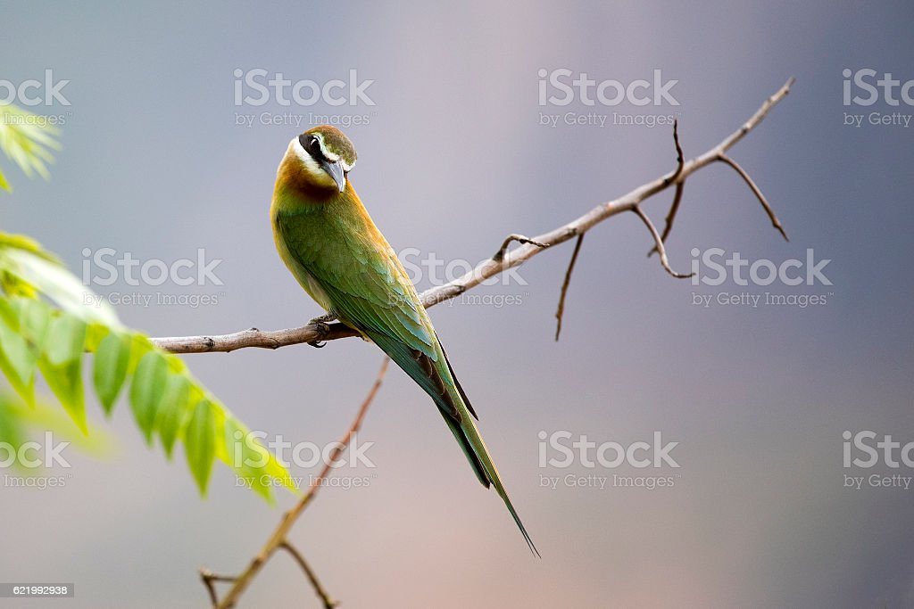 bee eater Portrait stock photo