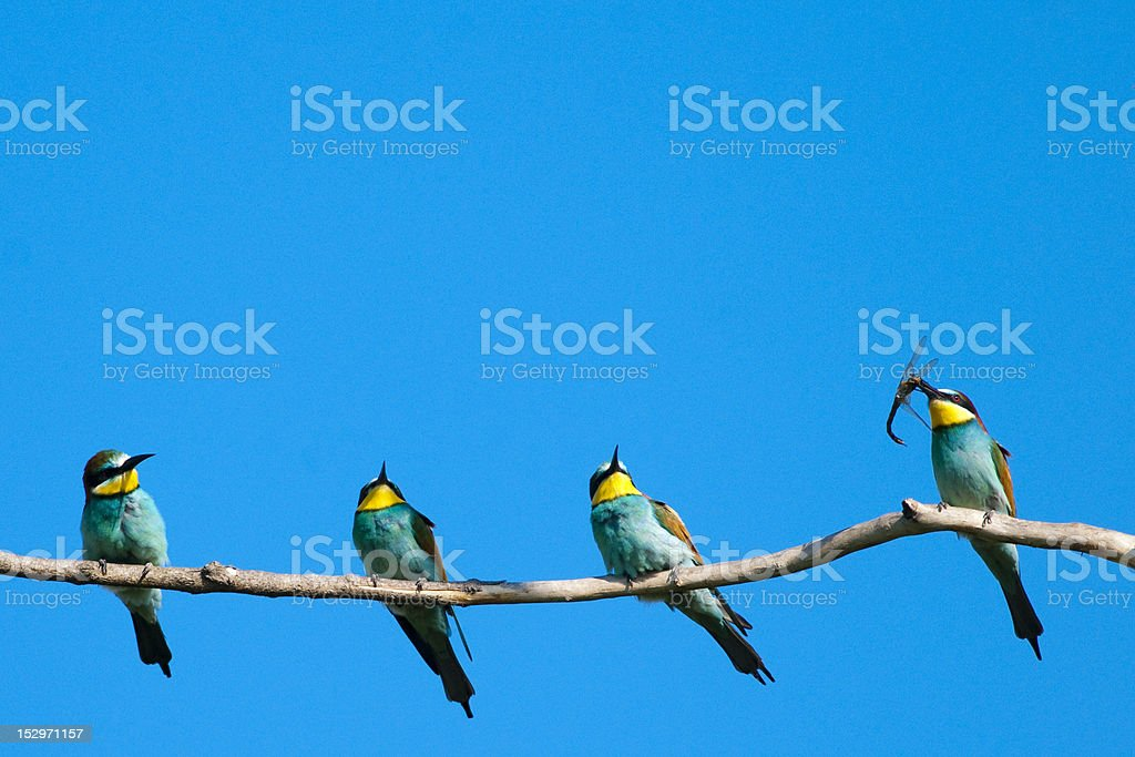 Bee Eaters on a branch royalty-free stock photo