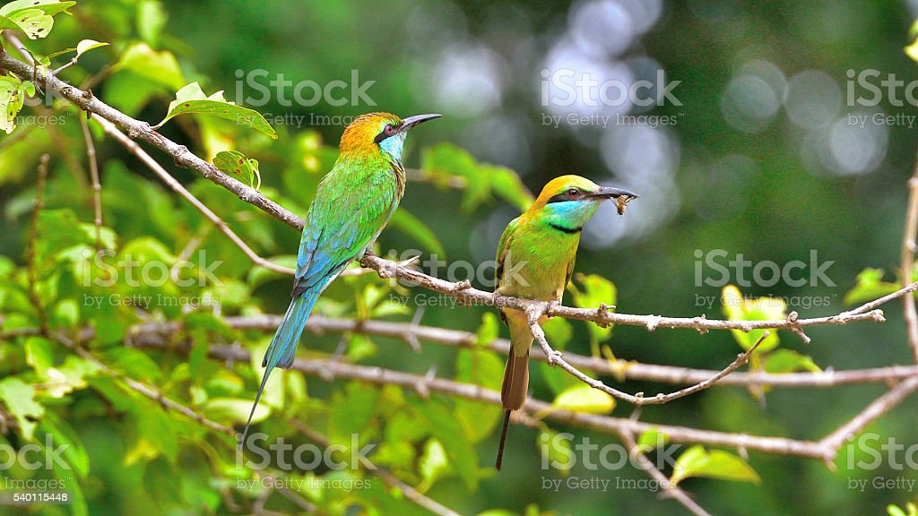Bee eaters with bee in mouth stock photo