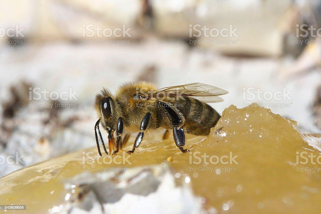 Bee eating honey. stock photo