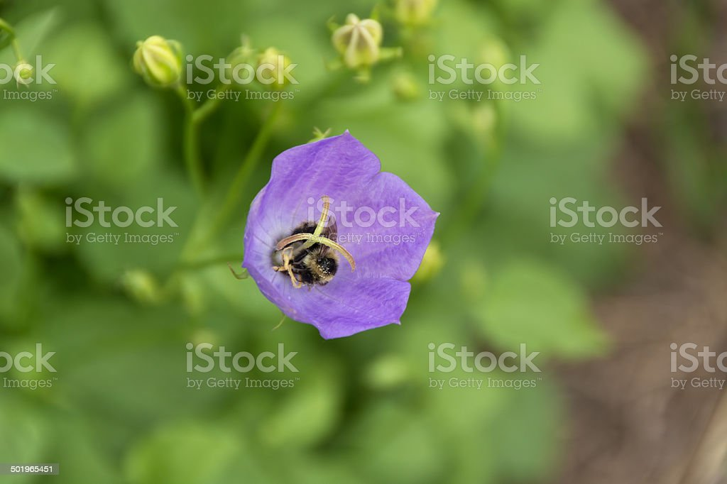 Bee enthusiastically pollenating bellflower. stock photo