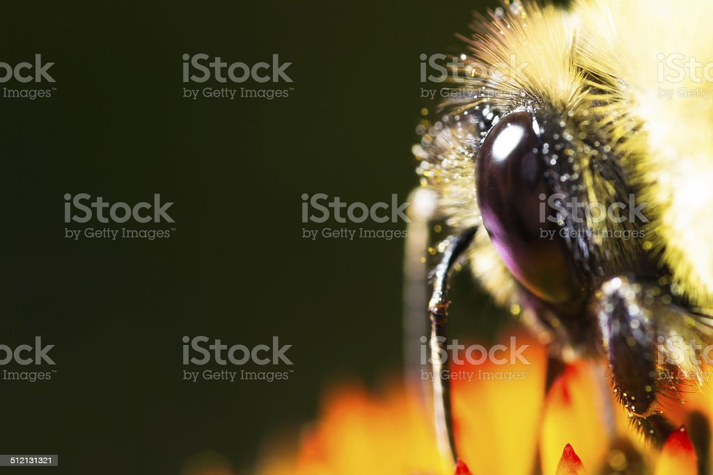 Bee eye and head on black background stock photo