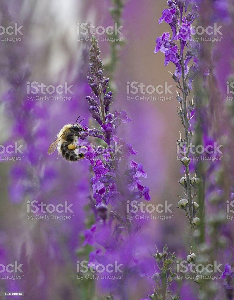Bee feeding 1 royalty-free stock photo