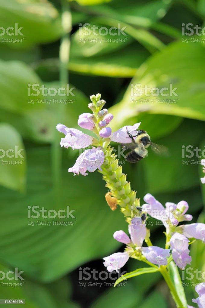 Bee feeding stock photo