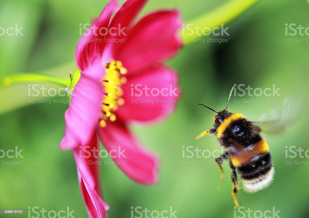 Bee Flight stock photo