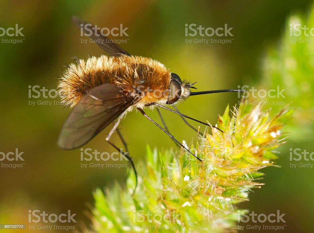 Bee Fly (Bombyliidae) stock photo